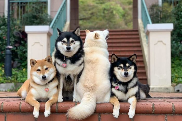 Shiba Inu Constantly Ruining Group Pics