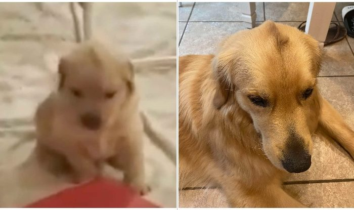 Golden Retriever Was Born With Adorable Tiny Mohawk And Has It To This Day