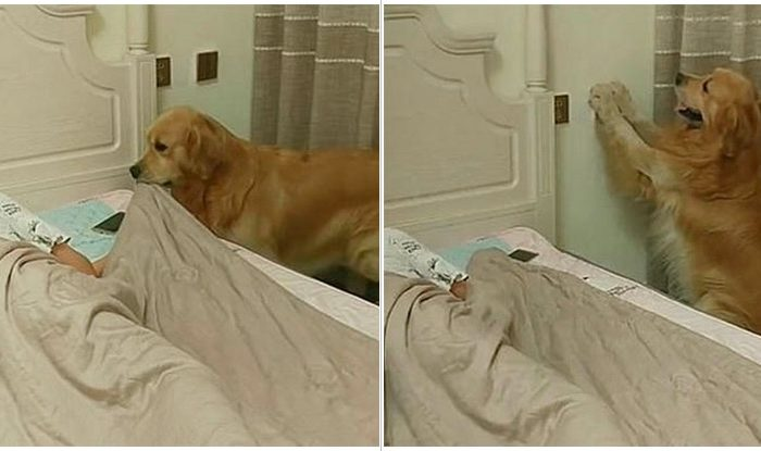 Watch This Golden Retriever Tuck His Owner In At Night And Turn Off The Lights