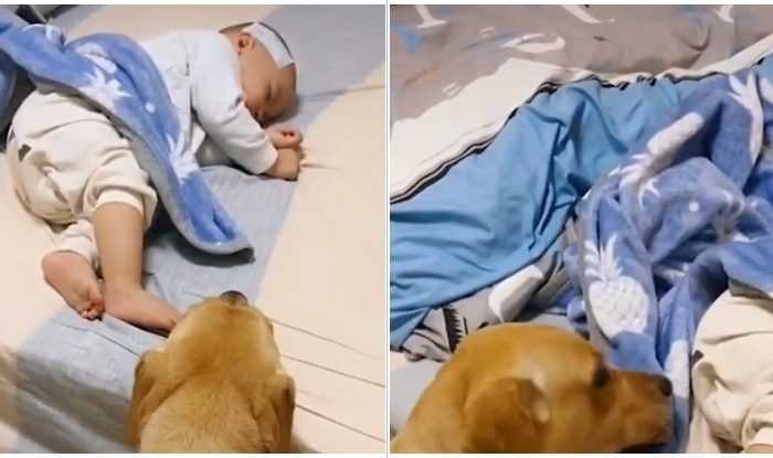 Golden Retriever Tucks In His Little Human Boy While He Is Laying Sick In His Bed