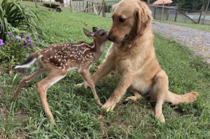 How A Golden Retriever Puppy Became Best Friends With Bambi
