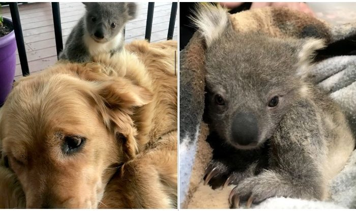 Golden Retriever surprises his owner with a baby koala he just saved