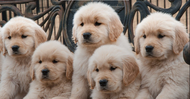 5 Reasons Why Golden Retrievers Are The Best Dogs