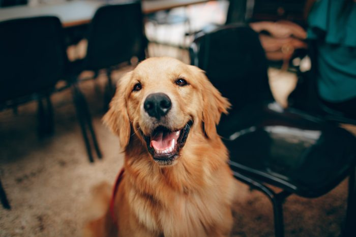 10 Things You Must Know About Golden Retrievers