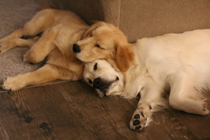These Golden Retrievers Use Each Other As Pillows
