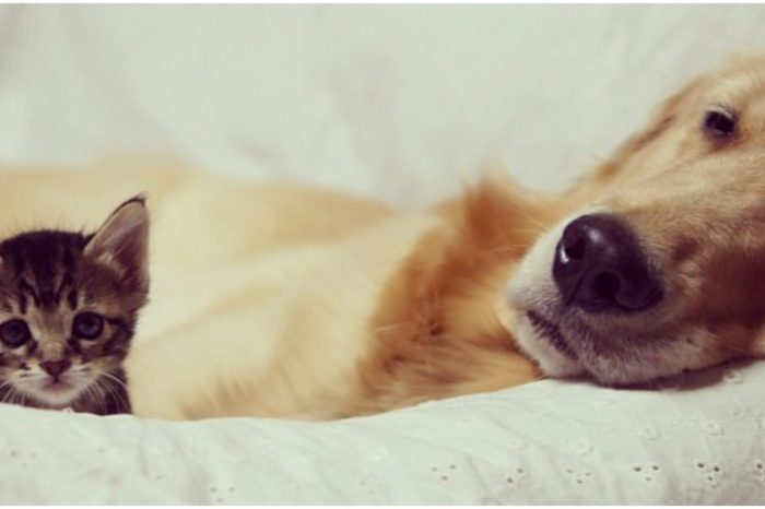 Ponzu The Big-Hearted Golden Retriever Adopted An Orphan Kitten Rejected By Her Mother