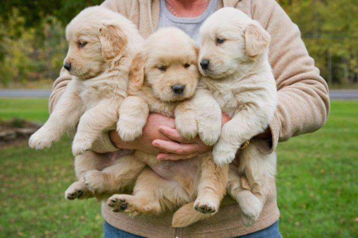 5 essential tips for raising a Golden Retriever puppy