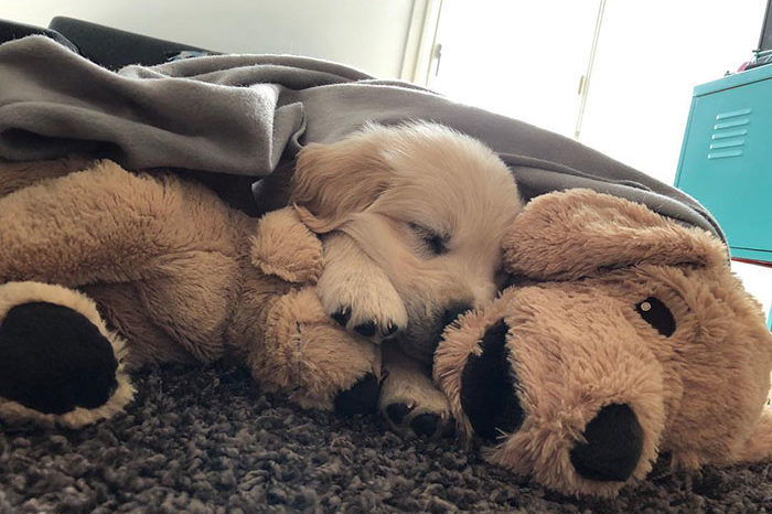 This Adorable Golden Retriever Can't Go Anywhere Without His Mini-Me Toy