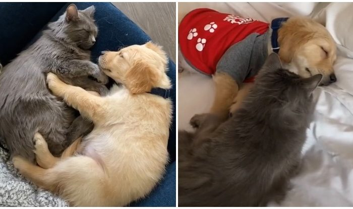 This Cat Was Obsessed With Watching Golden Retriever Videos, And Now She Has One As Her BFF