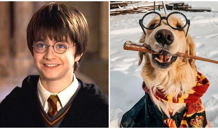 """""""Ten points to Gryffindor!"""" Our Favorite Harry Potter Themed Golden Retriever Costumes"""