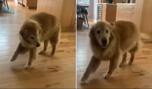 The Golden Retriever Dances To Celebrate The Arrival Of His Dinner