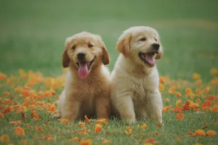 Five Golden Retriever Characteristics That Make Them Perfect