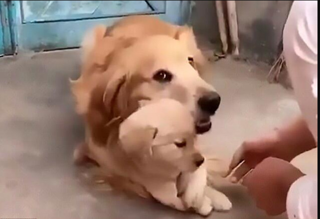 A Jealous Golden Retriever Does Not Allow The Owner To Shake Hands With The Puppy